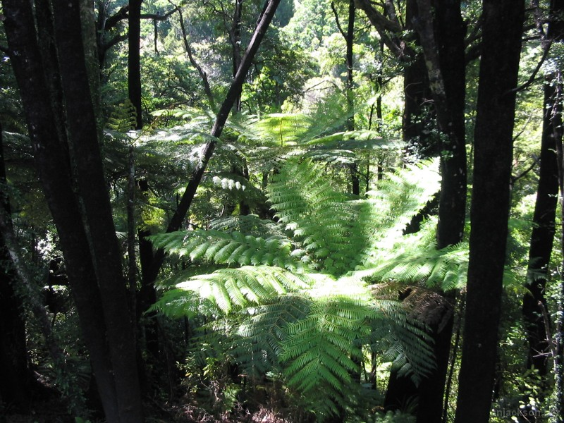 04006_ferns_and_black_trees-1399.jpg